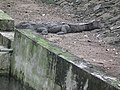 Mugger crocodile or Marsh crocodile from Bannerghatta National Park 8599.JPG