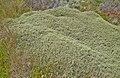 Mulinum spinosum-CTJ-IMG 7127.jpg