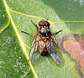 Muscidae, maybe Phaonia subventa - Flickr - gailhampshire.jpg