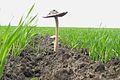 Mushroms on field 01.JPG