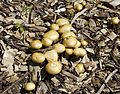 Mushrooms, Reed College 5.jpg