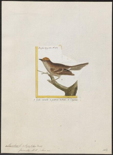 File:Myiobius fasciatus - 1700-1880 - Print - Iconographia Zoologica - Special Collections University of Amsterdam - UBA01 IZ16500335.tif