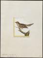 Myiobius fasciatus - 1700-1880 - Print - Iconographia Zoologica - Special Collections University of Amsterdam - UBA01 IZ16500335.tif