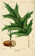 NAS-028 Quercus rubra.png