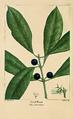 NAS-086 Osmanthus americanus.png