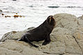 NZ Fur Seal - 1231 2013 006 (14000915867).jpg