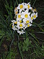 Narcissus4885.JPG