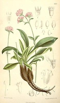Indische Narde (Nardostachys grandiflora DC.)