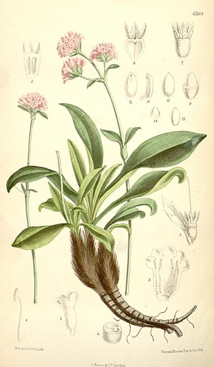 Illustration of Nardostachys grandiflora