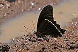 Narrow blue-banded swallowtail (Papilio nireus lyaeus) underside.jpg