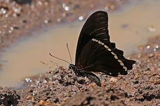Papilio nireus - both P. n. lyaeus Semliki Wildlife Reserve' Uganda
