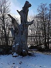 Naturminnesskyddade träd i Görvälns naturreservat 01.jpg