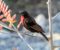 Nectarinia senegalensis Scarlet-chested Sunbird.JPG