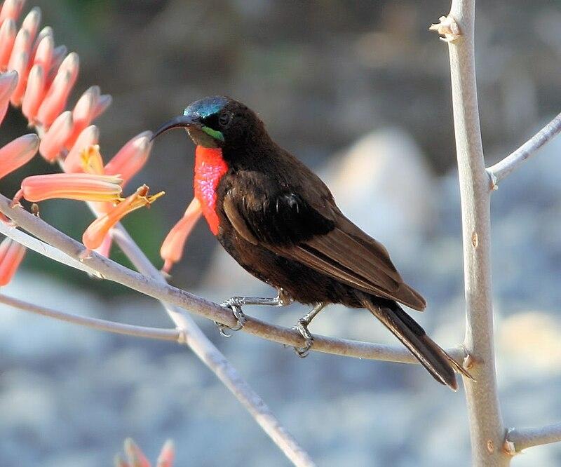 https://upload.wikimedia.org/wikipedia/commons/thumb/a/aa/Nectarinia_senegalensis_Scarlet-chested_Sunbird.JPG/800px-Nectarinia_senegalensis_Scarlet-chested_Sunbird.JPG