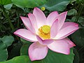 Nelumbo nucifera flower.jpg
