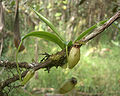 Nepenthes aristolochioides2.jpg