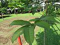 Nephelium lappaceum (Rambutan) tree in RDA, Bogra 02.jpg