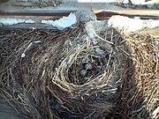 Nest of Passer montanus A