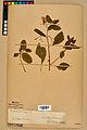 Neuchâtel Herbarium - Impatiens noli-tangere - NEU000019955.jpg