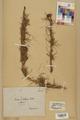 Neuchâtel Herbarium - Larix decidua - NEU000003686.tif