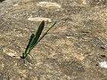 Neurobasis chinensis - Stream Glory male- Aralam Butterfly Survey at Kottiyoor, 2019 (2).jpg