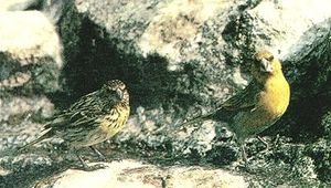 Nihoa finch - Male (right) and female (left) pair of Nihoa finches