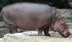 Hippopotamus hibius