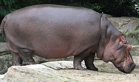 فرس النهر 280px-Nijlpaard