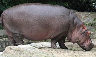 Hippopotamus (genus) - Hippopotamus, Hippopotamus amphibius