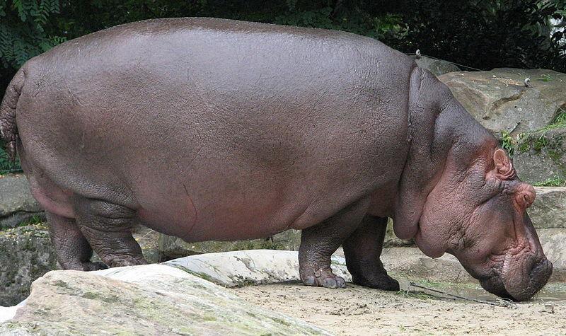Amazing Facts About Hippopotamus