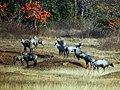 Nilgai bull group, Umred Karhandla WLS AJTJ P1090895.jpg