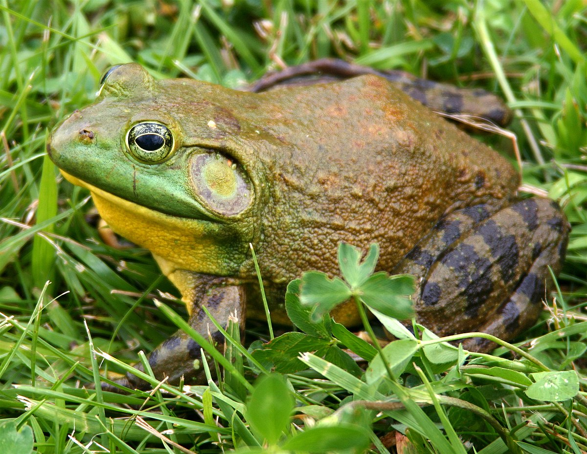 Do bullfrogs change sex to mate