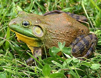 Tympanum (anatomy) - A circular tympanum near the eye of a male North American bullfrog.