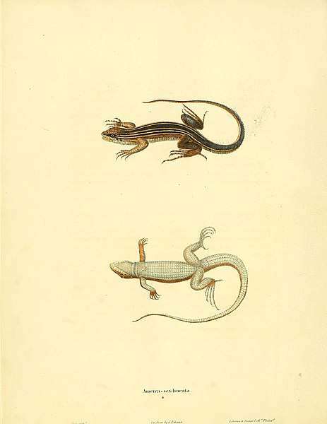 File:North American herpetology, or, A description of the reptiles inhabiting the United States (6046056939).jpg