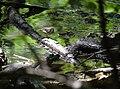 Northern Waterthrush (33741704554).jpg