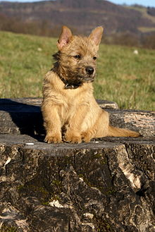 Norwich Terrier - Wikipedia