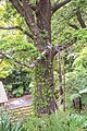 Nothofagus solandri in Wellington Botanical Garden (2).jpg