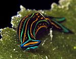 Nudibranch - Chelinodura hirundinina 17 good 3.jpg
