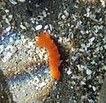 Nudibranch in california tide pools 1.jpg