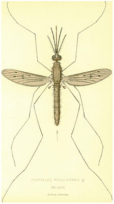 Weibliche Anopheles maculipennis