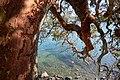 Nymph Point Park - Arbutus Tree.jpg