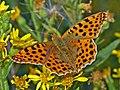 Nymphalidae - Issoria lathonia-002.JPG