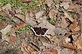 Nymphalis antiopa (Nymphalidae) (9727253137).jpg