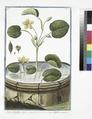 Nymphoides aquis innatans - Ninfea minore. Water lily) (NYPL b14444147-1125097).tiff