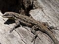 ORNATE TREE LIZARD Urosaurus ornatus - Flickr - gailhampshire.jpg