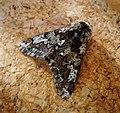 Oak Beauty. Biston strataria. male (46365402015).jpg