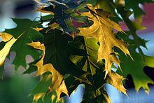 Из остальных видов дуба всего важнее пробковый, Q. occidentalis и Q. suber, растущие в южной Франции.
