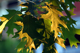 Oak leaves.jpg