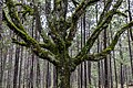 Oak tree in the middle of a pine forest.jpg