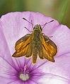 Ochlodes sylvanus (560975182).jpg